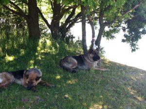 De to schæferhunde som angreb fårene på Sydhavnstippen har været interneret siden udåden. Foto: ?