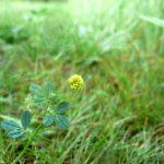 Blomstrende urter i engen, 4. aug. 2016 (19)