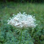 Blomstrende urter i engen, 4. aug. 2016 (3)