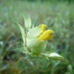 Blomstrende urter i engen, 4. aug. 2016 (8)
