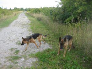 De to schæferhunde knyttet til den ulovlige technofest i 2015. Foto: Claus Andersen.