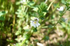 Blomstrende-urter-i-engen-4.-aug.-2016-24