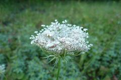 Blomstrende-urter-i-engen-4.-aug.-2016-3