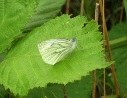 lille-kaelsommerfugl-juli-09-1