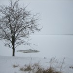 Ni vintersvaner i kalveboderne. Februar 2011. Foto: Claus Andersen.