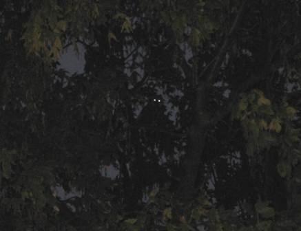 Skovhornugle på Sydhavnstippen, 2008