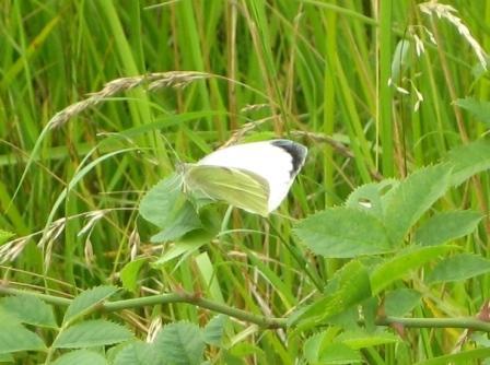 stor-kaelsommerfugl-han-juli-09